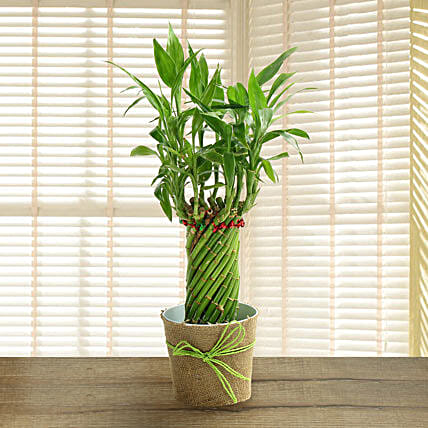 Indoor Plants Online | Best Indoor Plants India - Ferns N Petals