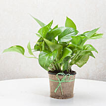 Plants Online Buy Green Plants Online Plant Nursery Ferns N Petals