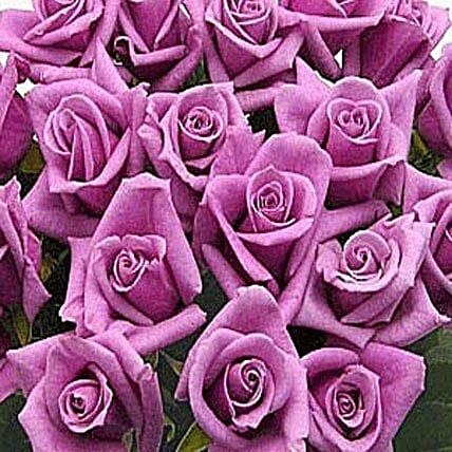 100 Long Stem Lavender Roses